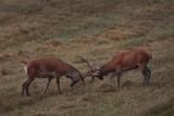 Rykowisko 2016. Trwa okres godowy jeleni [ZDJĘCIA]