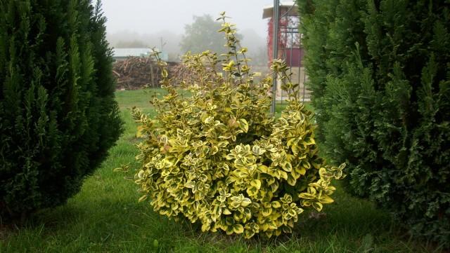 Trzmielina Emerald'n GoldKrzewy trzemieliny świetnie nadają się do  tworzenia różnorakich kompozycji roślinnych w ogrodzie. Rośliny te będą dobrze się czuły i sprawdzą się w towarzystwie iglaków.