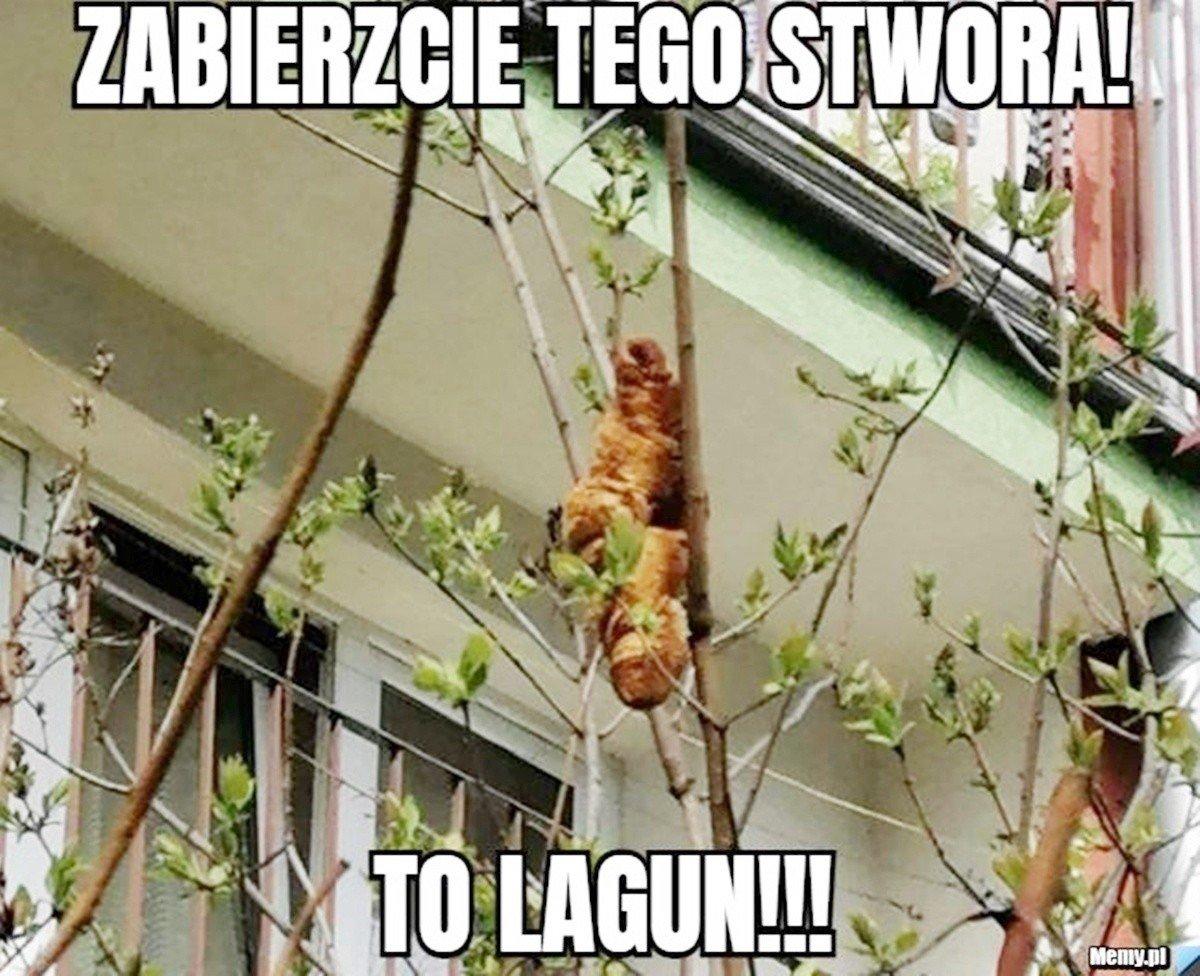 Lagun zszedł z drzewa i podbił serca internautów MEMY Cały świat mówi o  tajemniczej bestii. To croissant na drzewie w Krakowie | Dziennik Zachodni
