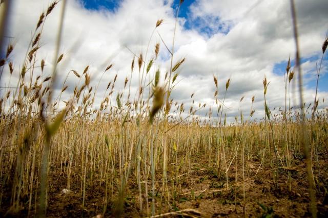 Wysokie temperatury, suchy wiatr, brak opadów. Rolnicy załamują ręce: – W tym roku jest jeszcze gorzej niż w zeszłym. Plony mogą być mniejsze nawet o 60 procent. Dlatego też rolnicy już teraz piszą wnioski o oszacowanie strat i ewentualną wypłatę odszkodowań. Czekają też na dodatkową pomoc. A zdaniem ekspertów taka sytuacja powoli staje się regułą, nie wyjątkiem.