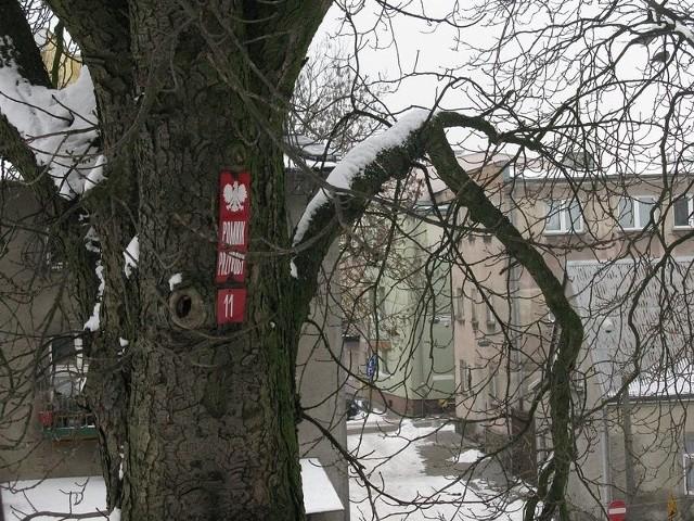 Drzewo-pomnik przyrody przy bytowskim zamku.