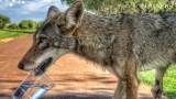 Kojot na polu golfowym. Spragnione zwierzę zostało poczęstowane wodą
