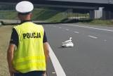 Łabędź siedział na autostradzie A4 i blokował przejazd w okolicach Jaźwin w powiecie dębickim