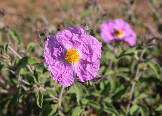 Czystek to nie tylko roślina lecznicza, ale i ozdobna. Jego kwiaty o pięciu płatkach mają kolor od białego przez różowy po purpurowy.