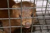 Polskie hodowle norek mogą być źródłem zakażeń nową mutacją SARS-CoV-2? Jakie jest ryzyko zakażenia koronawirusem od zwierząt domowych?