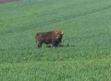 Żubr spaceruje po Podkarpaciu. W sobotę 2 maja widziano go w Cieszacinie Małym, Chałupkach i Ożańsku [ZDJĘCIA, WIDEO INTERNAUTÓW]