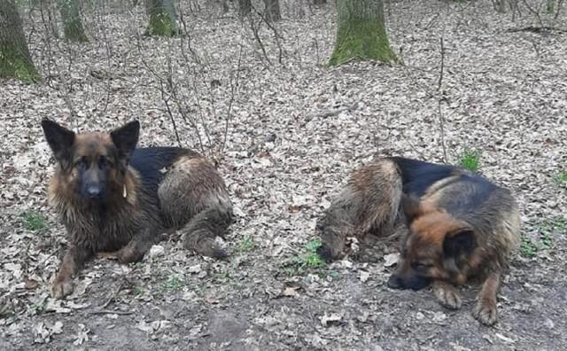 """Owczarki niemieckie zostały przewiezione do schroniska dla bezdomnych zwierząt """"Azorek"""" w Obornikach, gdzie czekają na swoich właścicieli.Zobacz więcej zdjęć --->"""