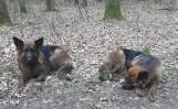 W lesie niedaleko Murowanej Gośliny znaleziono dwa owczarki niemieckie. Trwają poszukiwania właścicieli