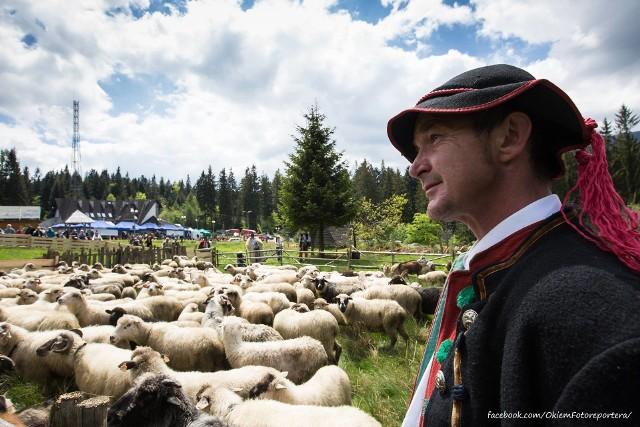 Wiosenny redyk. Górale wypędzili owce na hale w Beskidach