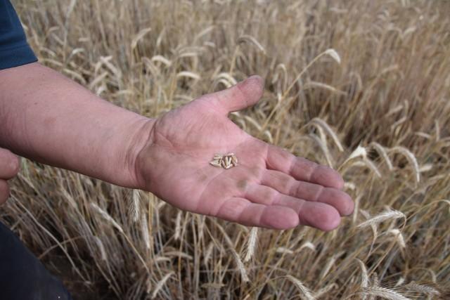 W tym roku sporą część plonów okroiły czerwcowe upały, w  poprzednich latach ziarno zasychało z powodu suszy