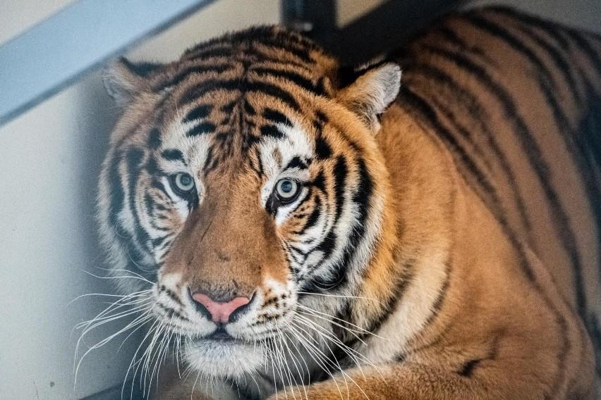 Poznańskie zoo czasowo przejęło dziewięć tygrysów, które...