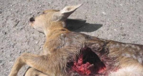Specjaliści sprawdzają, czy sarnę zabił duży kot.
