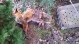 Na terenie ogrodu działkowego od soboty leży padły lis. Pomogło dopiero centrum zarządzania kryzysowego