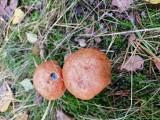 Mykolog wyjaśnia dlaczego grzyby są robaczywe! Dlaczego często podgrzybki są robaczywe? 28.09.2021