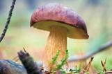 """Atlas grzybów - trujące, jadalne i niejadalne. Jak odróżnić prawdziwki od """"fałszywek""""? Zobacz różnice na zdjęciach! [16 września 2021"""