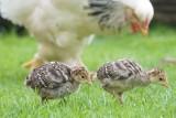 Ptasia grypa krąży po Europie. Jak chronić drób w gospodarstwie?