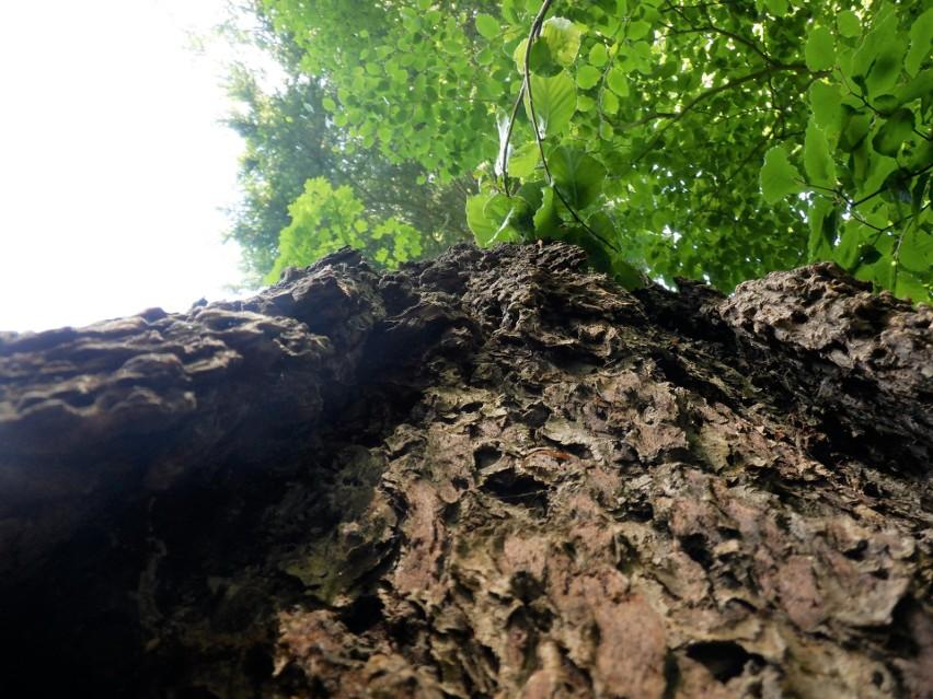 Kora daglezji przypomina skórę przedpotopowych bestii