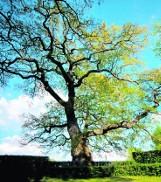 Plebiscyt na Europejskie Drzewo Roku 2014. Jednym z kandydatów jest Dąb Wybickiego