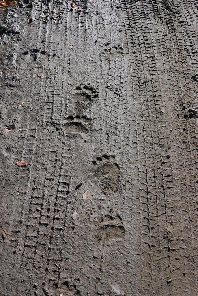 Jeżeli spotkamy świeże tropy niedźwiedzia, to warto sobie np. coś zaśpiewać. Chodzi o to, by niedźwiedź wykrył naszą obecność odpowiednio wcześnie i mógł się oddalić - radzi dr Wojciech Śmietana. Na zdjęciu tropy niedźwiedzia na leśnej drodze z Rabego do Kołonic.
