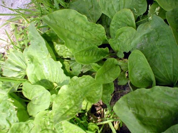 Świeże liście babki leczą drobne skaleczenia i otarcia na skórze