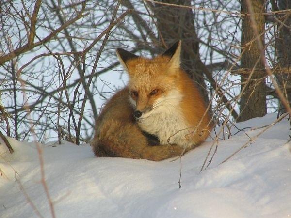 Lisica miała postrzelić myśliwego