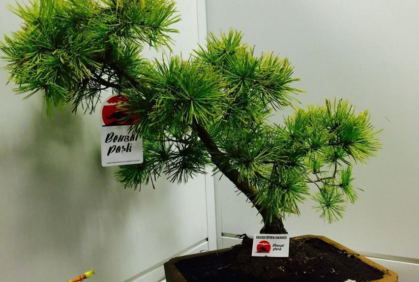 Formowanie Drzewek Bonsai Poznaj Podstawowe Style Echo