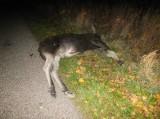 Gmina Krynki. Łosie zderzyły się z samochodami (zdjęcia)