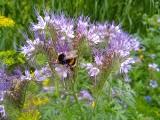 Łąki kwietne - jakie gatunki roślin wysiewać? A jeśli masz trawnik, to go nie koś, apeluje Izba Rolnicza