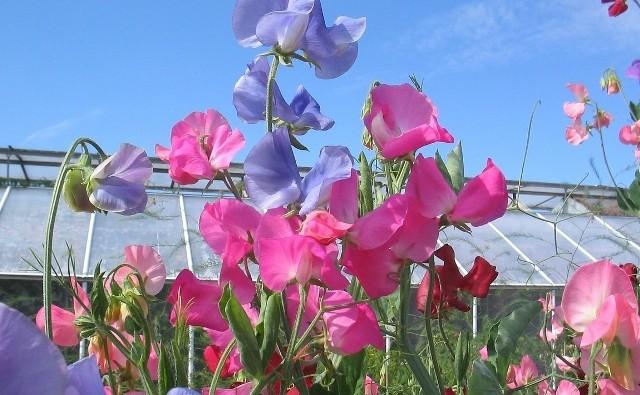 Na atrakcyjność ogrodu składa się zwykle wiele różnych czynników. Jedną z nich jest zapach roślin. Zobacz galerię zdjęć tych roślin i wybierz coś dla siebie.Aromatyczne rośliny warto sadzić w pobliżu wypoczynkowej części ogrodu (większość z nich nie pachnie jednak tak mocno, abyśmy mogli poczuć je z dużej odległości). Jeśli taką aromatyczną rabatę urządzimy obok altany czy tarasu, wieczorami z pewnością będziemy mogli delektować się pięknymi zapachami. Rośliny pachną bowiem najintensywniej późnym popołudniem lub wczesnym wieczorem (tytoń ozdobny, maciejka), choć niektóre również przez pozostałą część dnia (groszek pachnący, róże, lilie, hiacynty).Przy planowaniu aromatycznej rabaty, uwzględnijmy jedynie 2–3 pachnące gatunki, ponieważ zbyt dużo rozmaitych aromatów może spowodować, że przestaną być miłe, a staną się wręcz uciążliwe. Nie sadźmy ich też pojedynczo (chyba, że są to rozłożyste krzewy), a w niewielkich grupach, gdyż wtedy zapach będzie bardziej zdecydowany i wyrazisty.