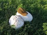 Grzyby wielkości piłki odkryto w podlaskim lesie