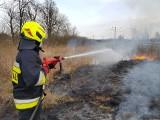 Plaga pożar lasów, traw i łąk w powiecie szydłowieckim. Strażacy interweniowali już ponad sto razy