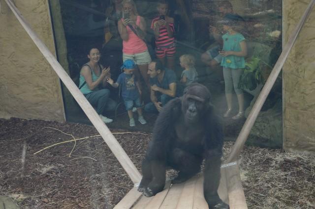 Nowe goryle w ZOO w Opolu dołączyły do Ashmara.