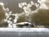 """Zielona Góra. Martwa ryba w zbiorniku wodnym przy ul. Partyzantów. """"Obrzydliwe bagnisko"""""""
