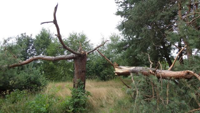 Wichura połamała drzewa w podmyszkowskim  lesie