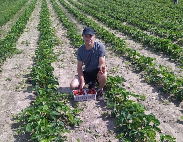 Arkadiusz Mordel sprzedaje dorodne truskawki. Niestety i na jego plantacji owoce mają dość wody