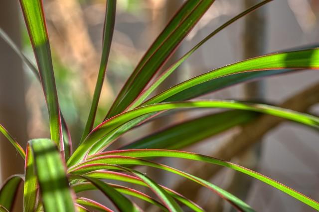 Draceny to ładne rośliny doniczkowe. Mają kilka zróżnicowanych gatunków i odmian, jednak ich wymagania są podobne i niewygórowane.