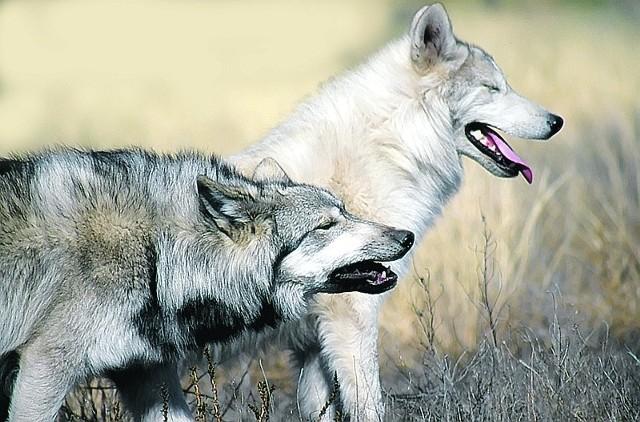 W Polsce występują głównie w rozległych lasach i trudnodostępnych obszarach bagiennych na wschodzie kraju. Jak mówi Sabina Pierużek-Nowak obserwując je można znaleźć wiele odniesień do ludzkich zachowań. Żyją w watahach, wielopokoleniowych stadach liczących kilka - kilkanaście osobników. Stadu przewodzi samiec lub para osobników alfa. Pary wilków łączą się na całe życie. Młode samce po osiągnięciu dojrzałości czasem są przepędzane przez parę alfa, by nie zagrażały ich dominacji. W społeczności wilków każdy z nich pełni określoną funkcję. Jest zatem specjalista od węszenia niebezpieczeństwa, szukania tropów, zabijania łupu, chronienia dzieci pary alfa, przedniej straży na polowaniu. Od wymierzania kar jest zastępca przywódcy. Nie jest on lubiany przez pozostałe wilki, stąd nigdy nie zostaje samcem alfa. Wycie służy komunikacji i integrowaniu się watahy. Młode wilki, zwykle cztery-sześć szczeniąt, rodzą się na wiosnę, ale zwykle przeżywa jedynie połowa miotu. Podstawą jego diety są sarna i jeleń.