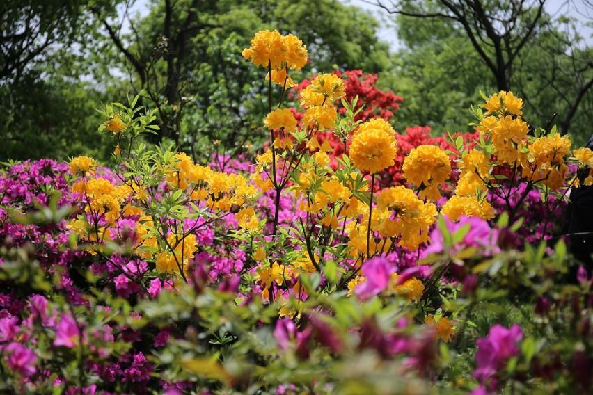 Azalie należą do wyjątkowo pięknych kwitnących krzewów. Mają...
