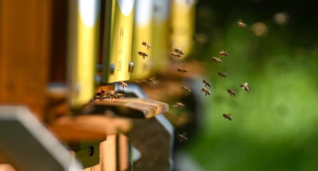 Chodź bywają natrętne, dokuczliwe, a nawet niebezpieczne, za zabicie pszczoły, osy lub szerszenia mogą grozić wysokie kary. W skrajnym przypadku grzywna wynosi nawet 65 tysięcy. Koniecznie poznajcie szczegóły!Czytaj dalej. Przesuwaj zdjęcia w prawo - naciśnij strzałkę lub przycisk NASTĘPNECZYTAJ TAKŻE: Użądlenie osy, pszczoły, szerszenia – czy jest niebezpieczne? Kiedy użądlenie może wywołać wstrząs anafilaktyczny?