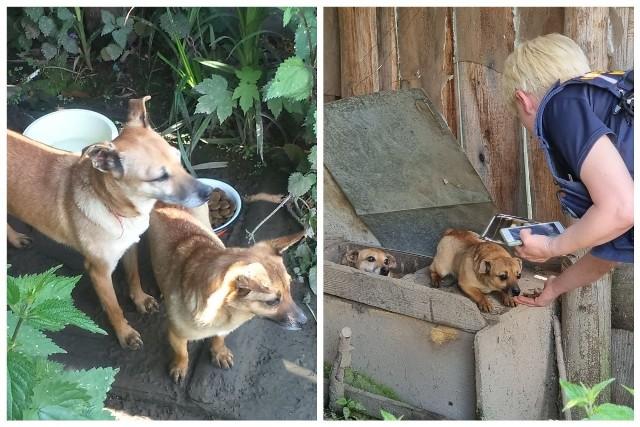 W Korzennej hodowali psy na smalec. Inspektorzy uratowali psy po anonimowym zgłoszeniu.