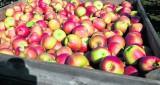 Nie spieszą się ze sprzedażą jabłek. Mają powody