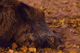 ASF w Zielonej Górze. W sobotę zbierze się sztab kryzysowy. Martwe dziki znajdowane są każdego dnia [WAŻNE INFORMACJE]