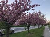 Ulica tonie w kwiatach. Zobacz, jak pięknie wygląda. Czytelnicy mówią, że takich ulic w Zielonej Górze powinno być więcej