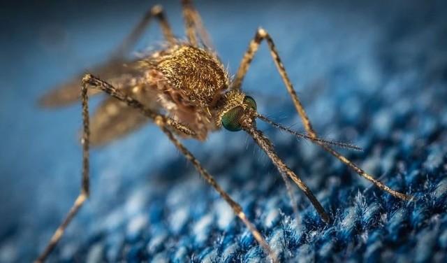 Komary przenoszą ekstremalnie groźną chorobę - gorączkę Zachodniego Nilu. Są udowodnione przypadki w Europie.