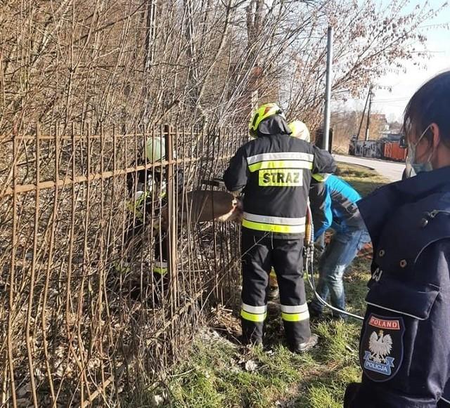 Strażacy z OSP Michałowice ratują sarnę, która utknęła między szczeblami płotu