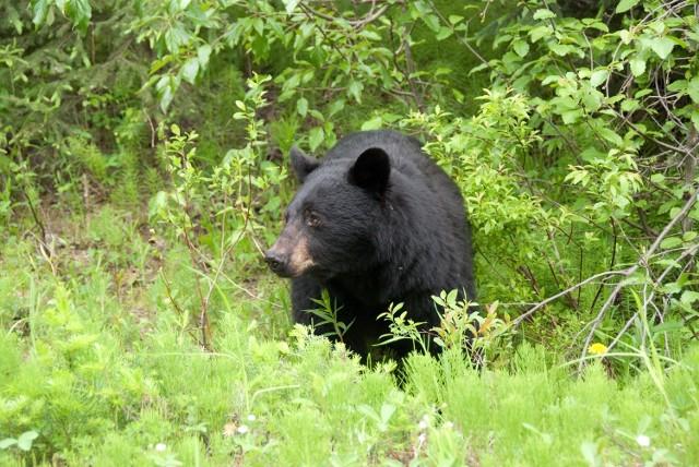 Niedźwiedź miał być widziany w okolicy Bojadeł