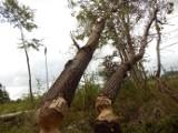Inwazja bobrów w usteckim lesie. Drzewa już padły albo zostaną wycięte