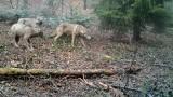 Krynica-Zdrój. W krynickich lasach pojawił się niedźwiedź, a w Tyliczu fotopułapka zarejestrowała watahę wilków [ZDJĘCIA, WIDEO]