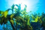 Wodna trawa uratuje Bałtyk! Wodorosty będziemy jeść, produkować z nich buty, ubrania oraz biopaliwa. Przy okazji oczyszczą morze!