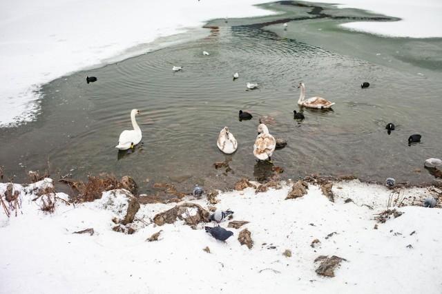 Zdjęcie ilustracyjne/Mieszkańcy Wąbrzeźna spacerujący w pobliżu Jeziora Zamkowego zauważyli przymarznięte łabędzie i powiadomili o tym strażaków
